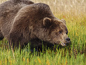 Coastal brown bear, also known as Grizzly Bear (Ursus Arctos) feeding on grass. South Central Aaska. United States of America (USA).