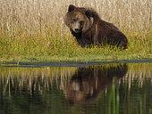Grizzly (Ursus Arctos) ourson au bord de l'eau. Centre-sud de l'Alaska. USA