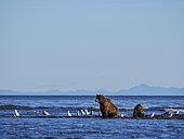 Grizzly (Ursus Arctos) ourse et ourson sur le rivage. Golfe de Cook, Centre-sud de l'Alaska. USA