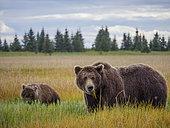 Grizzly (Ursus Arctos) ourse et son ourson. Centre-sud de l'Alaska. USA