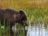Grizzly (Ursus Arctos) ourson mangeant de l'herbe. Centre-sud de l'Alaska. USA