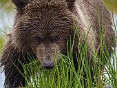 Coastal brown bear, also known as Grizzly Bear (Ursus Arctos) cub feeding on grass. South Central Alaska. United States of America (USA).