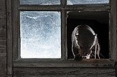 Fouine (Martes foina) passant par la fenêtre cassée d'une grange avec un oeuf de poule dans la gueule, Rhénanie-Palatinat, Allemagne