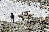 Hiker and Alpine Ibex (Capra ibex) on snow, Frémamorte Pass, Mercantour National Park, Alps, France