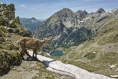 Alpine Ibex (Capra ibex) and snow, Pas des ladres, Mercantour National Park, Alps, France