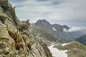Alpine Ibex (Capra ibex) on cliff, Frémamorte Pass, Mercantour, national park, Alps, France