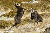 Alpine Chamois (Rupicapra rupicapra) fight between a young male and an old unicorn and one-eyed buck, rutting period, autumn, Mercantour National Park, Alps, France