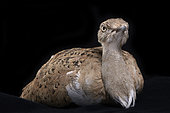 Macqueen's bustard (Chlamydotis macqueenii), sitting female on black background, Saudi Arabia