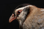 Arabian partridge (Alectoris melanocephala), head's side view on black background, Saudi Arabia