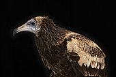 Immature Egyptian vulture (Neophron percnopterus) on black background, Saudi Arabia