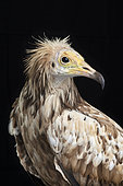 Egyptian vulture (Neophron percnopterus) on black background, Saudi Arabia