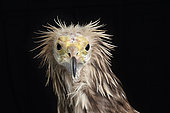 Egyptian vulture (Neophron percnopterus), facing head on black background, Saudi Arabia