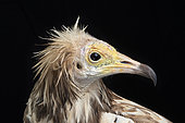 Egyptian vulture (Neophron percnopterus), head's side view on black background, Saudi Arabia