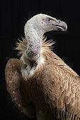 Griffon vulture (Gyps fulvus) on black background, Saudi Arabia