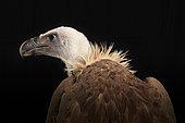 Griffon vulture (Gyps fulvus) back view on black background, Saudi Arabia
