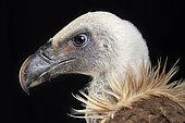 Griffon vulture (Gyps fulvus), head side view on black background, Saudi Arabia