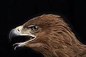 Steppe eagle (Aquila nipalensis), head side view on black background, open beak, Saudi Arabia