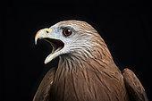 Black kite (Milvus migrans), open beak on black background, Saudi Arabia