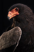 Bateleur (Terathopius ecaudatus) on black background, Saudi Arabia