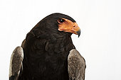 Bateleur (Terathopius ecaudatus) on white background, Saudi Arabia