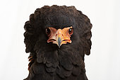 Bateleur (Terathopius ecaudatus), facing head on white background, Saudi Arabia