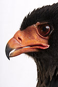 Bateleur (Terathopius ecaudatus), head's side view close-up on white background, Saudi Arabia