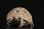 Mesopotamian tortoise (Testudo graeca terriestris) on black bacground, Saudi Arabia