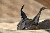 Caracal (Caracal caracal), hiding, Saudi Arabia
