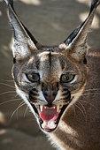 Portrait of Caracal (Caracal caracal), open mouth, Saudi Arabia