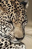 Arabian leopard (Panthera pardus nimr), portrait, Saudi Arabia
