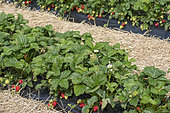 Strawberries growing in plastic sheets and straw mulch