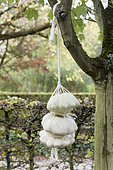 Scallop squash hanging on a tree for Halloween, autumn, Somme, France