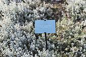 Snow in summer (Cerastium tomentosum) 'Columnae' in a garden, autumn, Somme, France