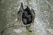 Tengmalm's Owl (Aegolius funereus) chicks at nest in a natural cavity in a trunk, Ardennes, Belgium