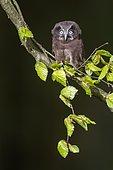 Tengmalm's Owl (Aegolius funereus) on a branch, Ardennes, Belgium