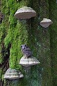 Nyctale boréale (Aegolius funereus) sur un Polypore sur un tronc, Ardenne, Belgique