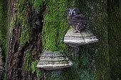 Tengmalm's Owl (Aegolius funereus) on a Braket fungus on a trunk, Ardennes, Belgium