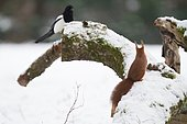 Red squirrel (Sciurus vulgaris) facing a Magpie (Pica pica) on a branch in winter, Ardennes, Belgium