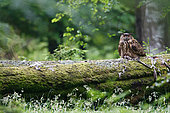 Eagle Owl (Bubo bubo) devouring a Western Buzzard (Buteo buteo)on a branch in the forest, Ardennes, Belgium