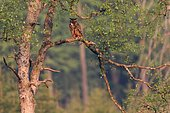 Eagle Owl (Bubo bubo) on a branch in the forest, Ardennes, Belgium