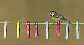 Blue tit (Cyanistes caeruleus) perched on a washing Line, cloth pegs