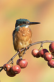Kingfisher (Alcedo atthis) Kingfisher perched amongst crabapple, England, Autumn