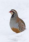 Red-legged partridge (Alectoris rufa) walking in the snow, England