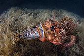 Scorpionfish (Scorpaena sp.) swallowing fish prey, Tyrrhenian Sea