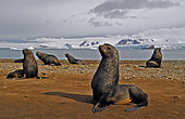South American fur seal (Arctocephalus australis). Antarctic Peninsula.