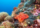 Small red scorpionfish (Scorpaena notata) on the bottom, Marseille, France