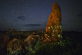 Bioluminescent larvae of Headlight Beetles (Pyrophorus nyctophanus) attracting flying termites and Great anteater (Myrmecophaga tridactyla) digging termite mound, Emas National Park, Brazil