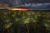 Paepalanthus flowers fireworks (Paepalanthus sp) at sunset, Chapada dos Veadeiros National Park, Brazil