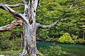 Dead tree on river bank, Argentina Patagonia.