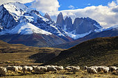 Flock of sheep in front of the Cuernos Massif, Torres del Pain National Park, Patagonia, Chile